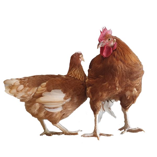 poulet roux lourd